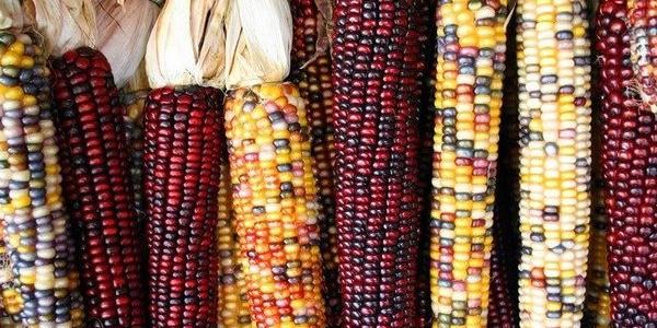 A World of Corn