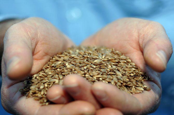 CSIRO_ScienceImage_10909_BARLEYmax_grain