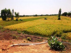 Namakana riževa polja.