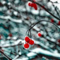 Cherries for Christmas?