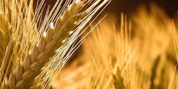 Cereali e tuberi: una storia millenaria