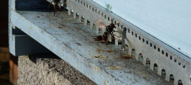 Au lycée des Andaines, les frelons asiatiques viennent manger les abeilles