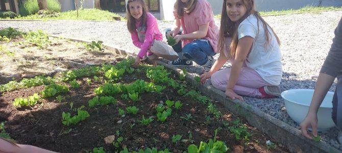 Mediteranski vrt u OŠ Čavle već daje plodove