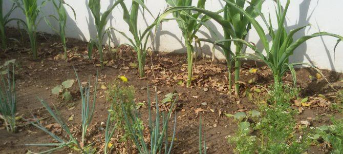 Ο λαχανόκηπός μας στο Β' Δημοτικό Ιδαλίου