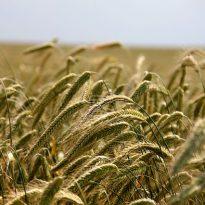 Există o criză a hranei pe glob?